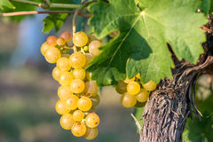 Gold Grapes on the Vine and green leaves Stock Photos
