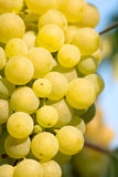 Gold Grapes on the Vine Royalty Free Stock Photos