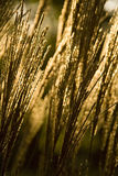 Gold grass Stock Photography