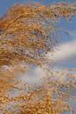Gold grass Stock Images