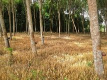 Gold grass in rubber  trees garden ,Hadyai,Songkhla ,Thailand. Gold grass in rubber  trees garden ,Hadyai, Songkhla ,Thailand Royalty Free Stock Photo