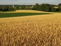 Gold and Green Fields Royalty Free Stock Photography