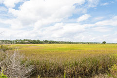 Gold and Green Grass in Wetland Marsh Stock Photography