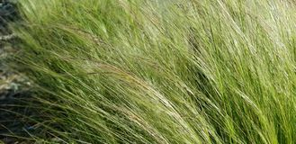 Texture Series - Green Grasses in the Wind. Gold and green grasses swaying in the wind. Natural background for web design stock photos