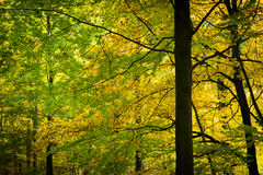 Gold and green leaves in the autumn forest.  stock images