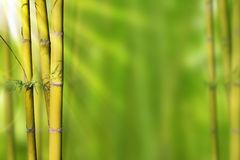 Gold Green stems bamboo and green abstract background Royalty Free Stock Photography