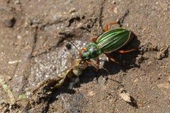 Gold ground beetles - food intake - macro Royalty Free Stock Photo