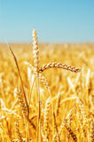 Gold harvest close up Royalty Free Stock Images