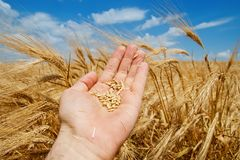 Gold harvest in hand Stock Photo