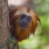 Gold Headed Lion Tamarin Stock Image