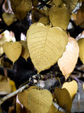 Gold heart shape leaves Stock Photo
