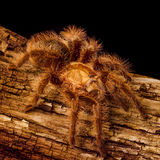 Gold Honduran Curlyhair Tarantula Royalty Free Stock Image