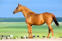 Gold horse standing in pasture . Stock Image