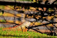 Gold iguana Royalty Free Stock Image