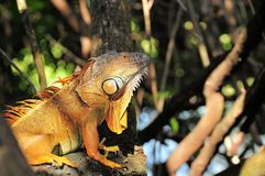 Gold iguana on tree branch Royalty Free Stock Photo