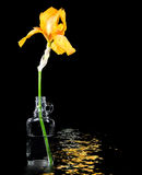 Gold iris in vintage bottle Royalty Free Stock Images