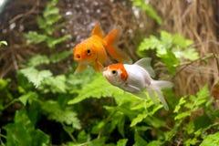 Gold-koi Fische auf schwarzem Hintergrund lizenzfreie stockfotos