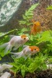 Gold-koi Fische auf schwarzem Hintergrund stockfoto