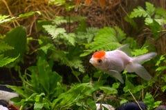Gold-koi Fische auf schwarzem Hintergrund stockfotografie