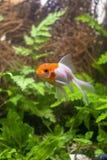 Gold-koi Fische auf schwarzem Hintergrund lizenzfreie stockbilder