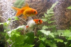 Gold-Koi-Fische lokalisiert auf schwarzem Hintergrund stockfotografie