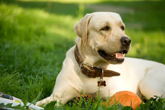 Gold labrador retriever Stock Image