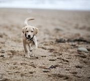 Gold labrador retriever puppy on beach Royalty Free Stock Photos