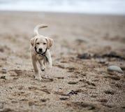 Gold labrador retriever puppy on beach Royalty Free Stock Photos