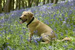 Gold labrador retriever puppy in bluebells Royalty Free Stock Images