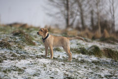 Gold labrador retriever puppy in snow. Image shows gold labrador standing in snowy field, narrow depth of field Stock Images