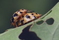 The gold lady bugs matting Stock Photography