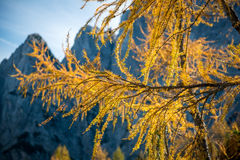 Gold Larix branches, Closeup of a Larch tree with fall foliage Royalty Free Stock Photography