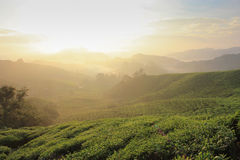 Gold and Leaf. Stunning sunrising from BOH tea plantation in Malaysia Royalty Free Stock Photos