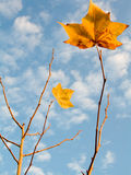 Gold leaves. Autumn leaves against a cloudy blue sky Royalty Free Stock Photo