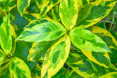 Gold leaves. Caricature plant or green and gold leave close up royalty free stock images
