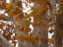 Gold Leaves On White Bark Royalty Free Stock Image