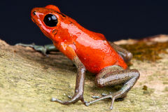 Gold legged dart frog Stock Photo