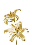 Gold lily Stock Photos