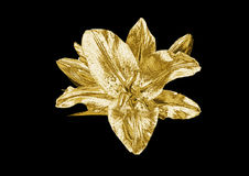 Gold lily Stock Photography