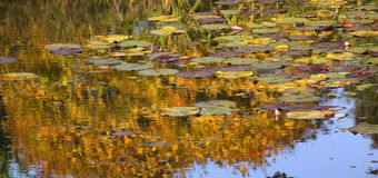 Gold Lily Pads Water Reflections Van Dusen Gardens Stock Image