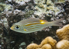 Gold-Line Sea Bream Royalty Free Stock Photos