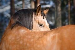 Gold Lusitano horse portrait in winter. Gold Lusitano horse stallion portrait in winter Stock Images