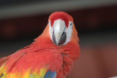 Gold macaw of Hong Kong Ocean Park Royalty Free Stock Photos