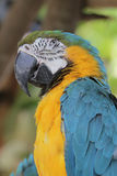Gold macaw of Hong Kong Ocean Park Stock Photography