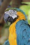 Gold macaw of Hong Kong Ocean Park Stock Photography