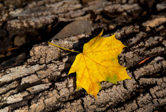 Gold maple leafl and old tree trunk Royalty Free Stock Image
