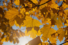 Gold maple leaves Royalty Free Stock Photo