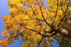 Gold maple tree royalty free stock images