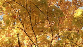 Gold maple tree in the forest. Autumn daytime. Smooth dolly shot.  stock video footage