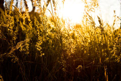 Gold meadow. In summer sun rays Stock Photos